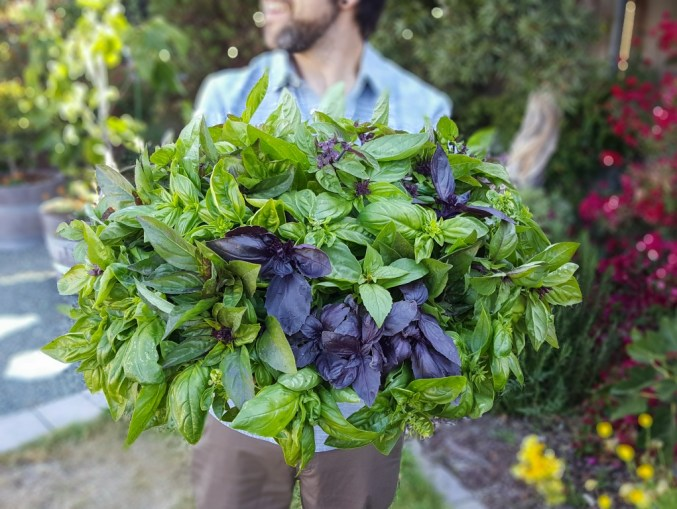 A man is holding a huge bowl full of basil. The colors range from light green to dark green to dark purple. The background is out of focus and shows a variety of plants, shrubs, and trees planted around the perimeter of the yard.