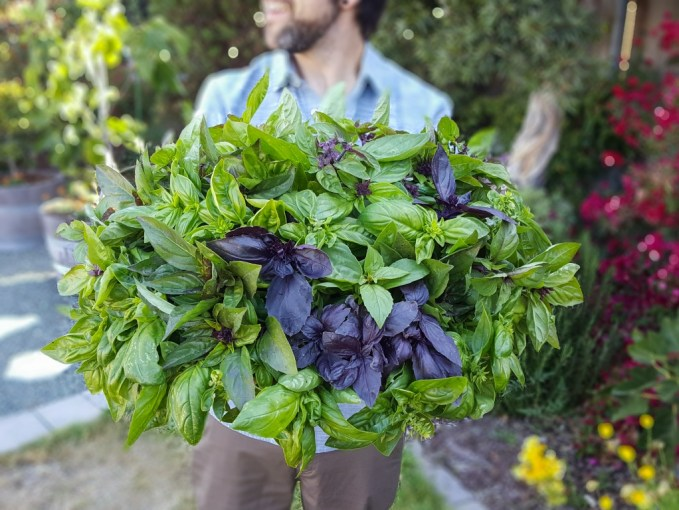 A man and his basil harvest. It is a huge basket overflowing with green and purple basils of many varieties. A garden scene is blurred in the background.