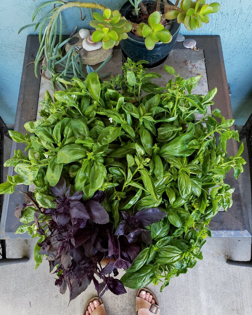 A huge bowl full of harvested basil sits on a table. The basil is green and purple.