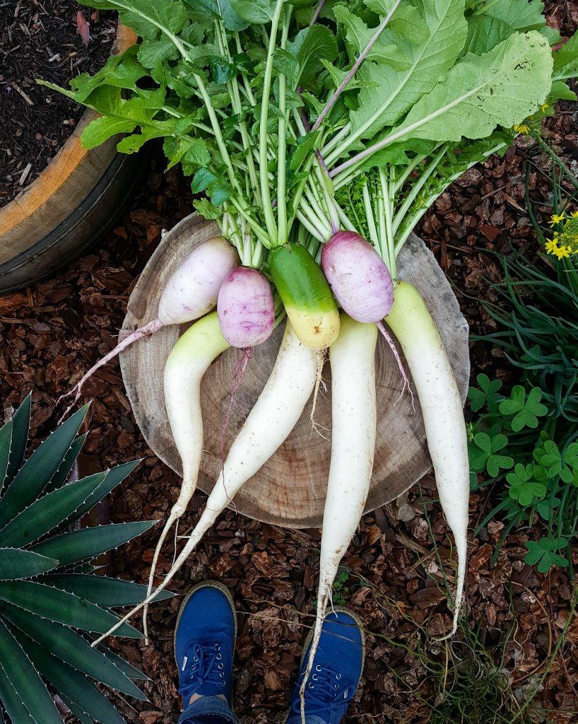 Three types of daikons. Some are very long and white, almost a foot long, bigger than carrots (Miyashige). The others are more oblong, like a squished baseball or large egg (bravo is purple, green luobo is green). They're sitting on a tree stump in a garden