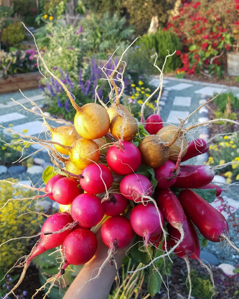 A large handful of harvested radishes, with the garden in the background. The radishes are all smaller round types, a mix of red, pink, and yellowish.