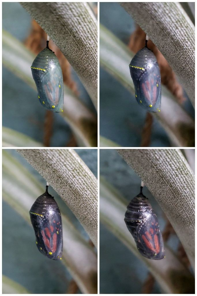 Four images showing the change in a monarch butterfly chrysalis over a few days period, right before it emerges as a butterfly. The small thimble-size chrysalis changes from green to darker green, then you can see the black and orange wings showing through, and eventually and chrysalis casing is totally transparent. The butterfly wings are completely visible through it.