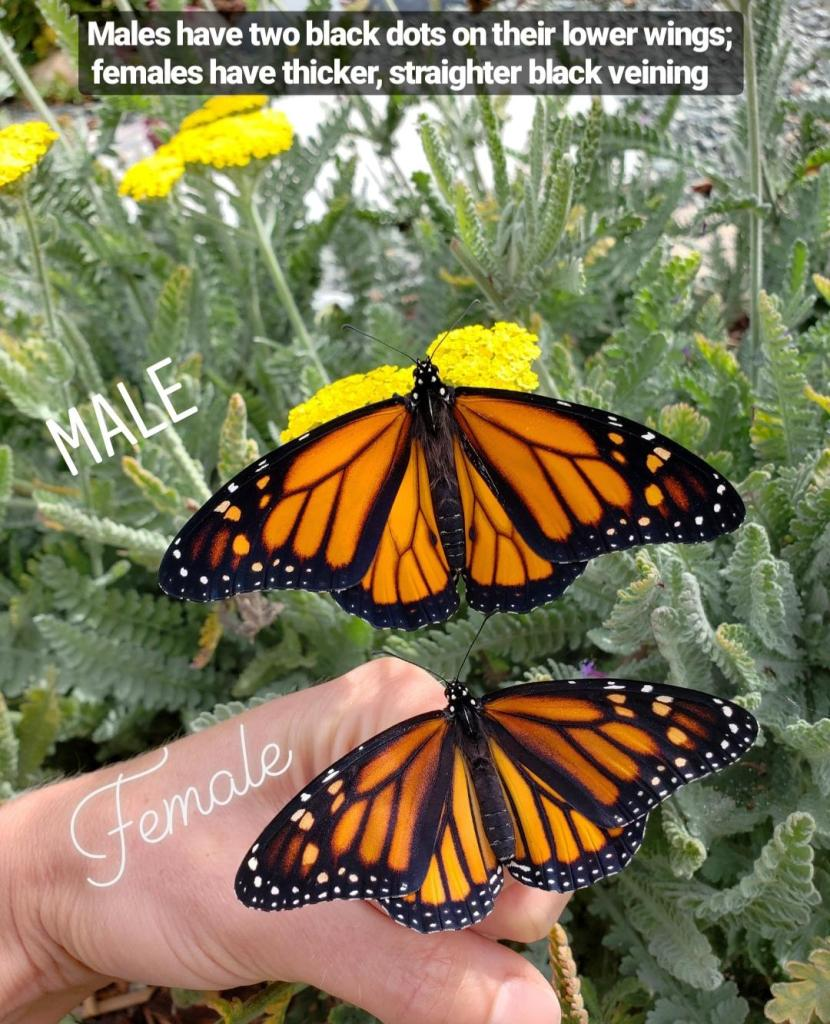 96e2aaef08363 An image of a male and female monarch, side by side. They look very Now you can  tell the difference ...