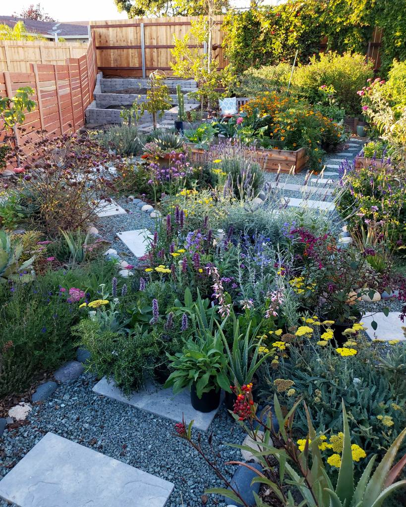 This was after a trip to three different local nurseries, picking out all the pollinator-friendly plants we wanted to add to our new front yard garden expansion. The pile of plants in the middle of the pathway were added to the empty terraced corner on the top left. Shown are yarrow, lavender, many types of salvia/sage, agastache, milkweed, and trailing rosemary that will flower too.  Planted all around are more of the same. You can also see pollinator-friendly companion plants in the raised beds in the background, like marigold and calendula.
