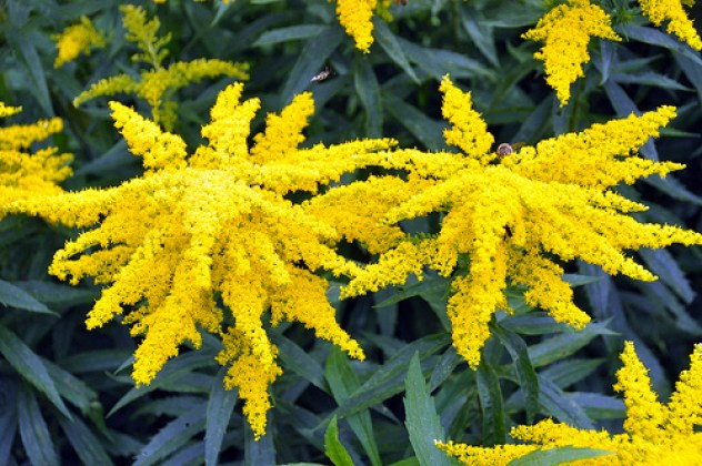 Long fuzzy bright yellow spikes of goldenrod blooms, with bees flying around them. While it is a good plant for pollinators, it can also be invasive in areas where it isn't native.