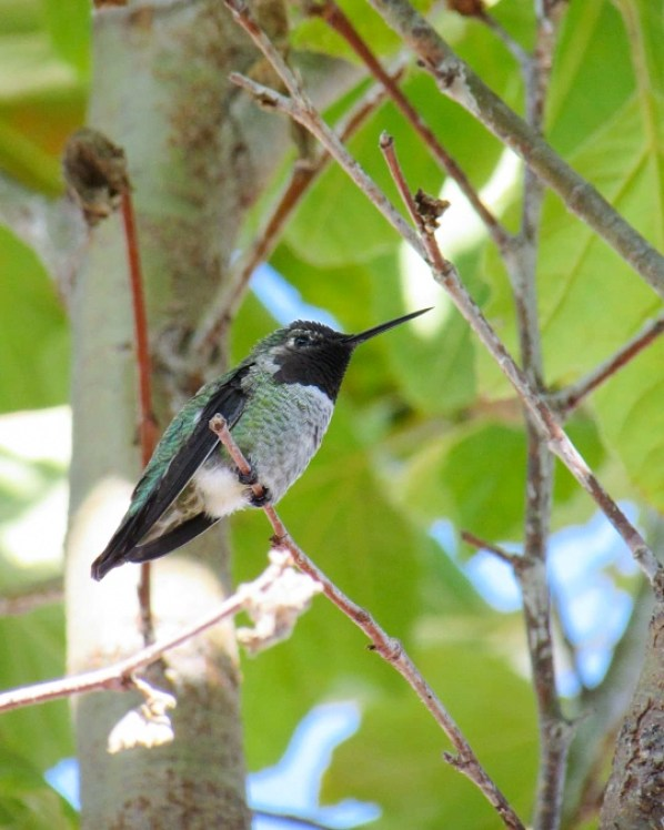 A close up of a hummingbird sitting in a sycamore tree, shot from the under side. You can see its tiny black feet wrapped around a thin branch, and its little fluffy white butt feathers.  It has a black neck, green sides, grey chest, and blue and green back.