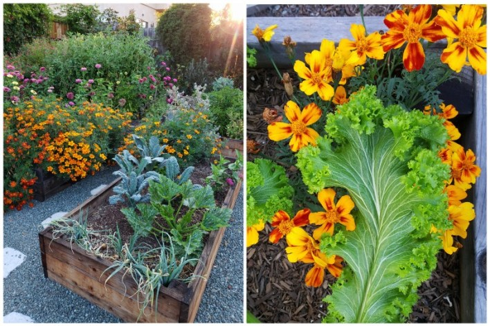 Two images of yellow and red french marigolds. One with a mustard green leaf, another showing a huge bush of marigolds in bloom billowing over the side of a raised bed, taking over the bed.