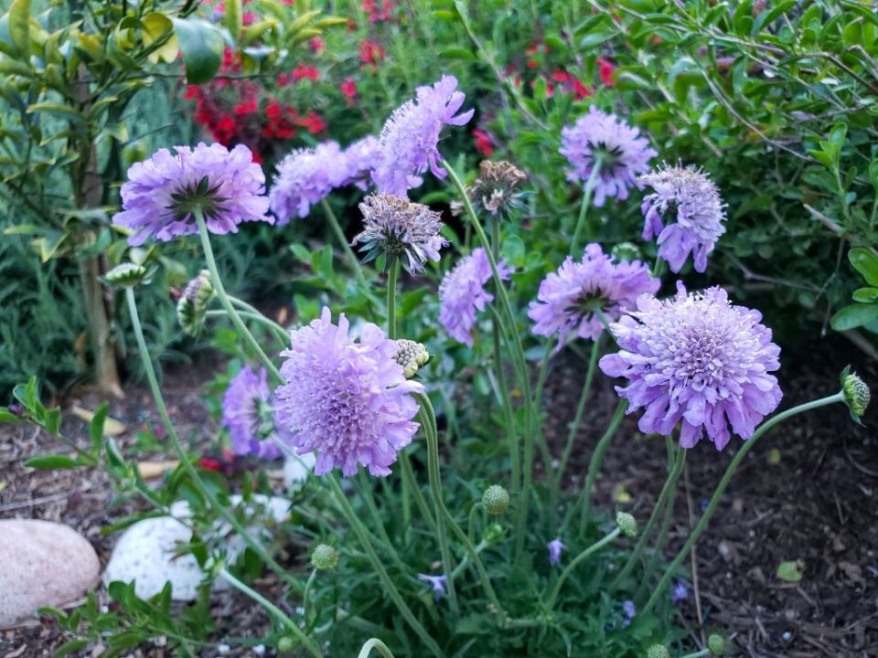 Light purple pincushion flowers, a dainty and easy plant for pollinators.