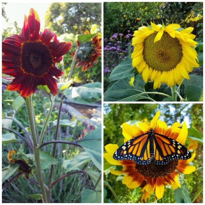 Three close up images of various sunflower heads. One is red with many heads. One is huge and yellow. The last is orange in the middle with yellow tips, and a monarch butterfly sits in the middle of the flower. Sunflowers are a highly attractive plant for pollinators.