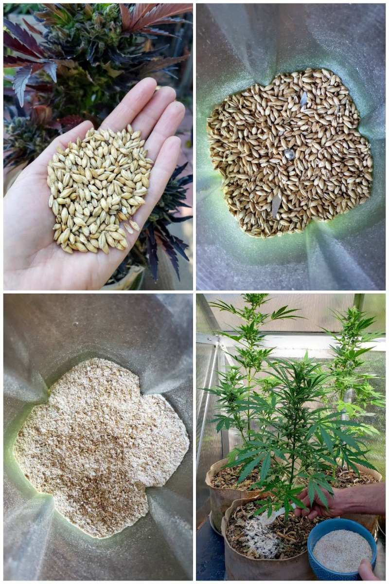 Malted barley grains in a hand, close up. Then in a blender, whole grains still. The next photo is after the grains are ground into a powder, still in the blender. The last image is of a man spreading the white colored barley powder on top of mulch in cannabis grow bags. The cannabis plants are short, only a couple feet each - autoflowers.