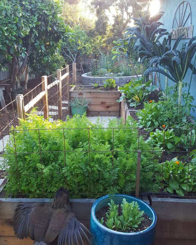 A large no-till garden with many raised beds, in a U-shape. The beds are redwood, and two feet tall. In the background are tall kale plants and flowers, with the setting sun shining through. In the foreground, one of the tall raised beds is full of carrot greens. A chicken is leaping up in the air to try to eat the carrot greens through the fencing that surrounds the bed.