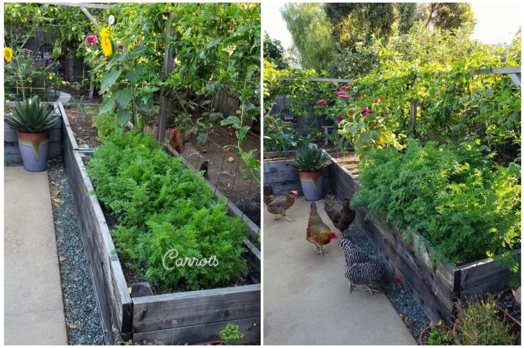 Two side by side images of the same raised bed. One has fairly small carrot greens, maybe 6-10 inches tall. The other shows them over a foot tall and much more full, billowing out of the sides of the raised bed now. The bed is along a patio garden area with chickens, flowers, and fruit trees in the background.