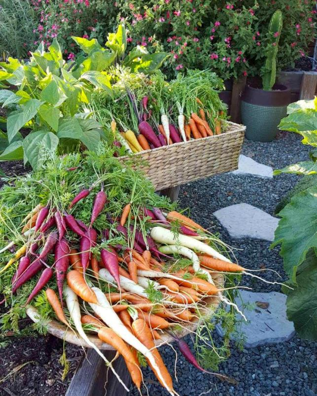 A large woven basket and also large wooden bowl, full of rainbow carrots (red yellow white and orange) perched on the edge of a  wood raised garden bed. There is bluish grey gravel and white paver stones between the raised beds, and potted cactus in the background.