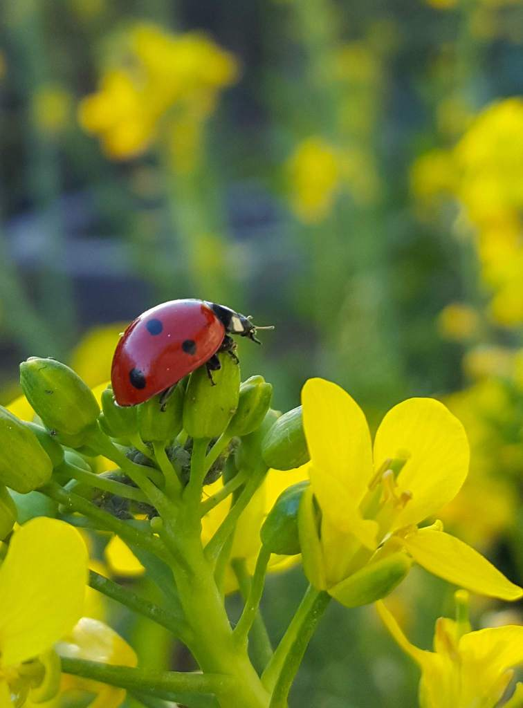 A close up of a ladybug perched on a cluster of not-yet-bloomed bok choy flower buds. There are little fuzzy grey aphids tucked between the flower buds below the ladybug. Yellow flowers blur in the background.