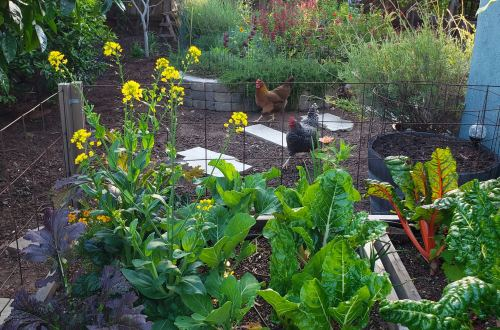 In the foreground is a raised bed with colorful swiss chard and mustard greens. In the background, chickens run across the dirt and bark yard, with a stone pathway and stone raised bed beyond them, full of flowers.
