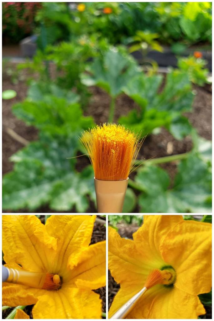 An image of a small paint brush, covered in yellow pollen. There is a large squash plant in the background that is out of focus. Also smaller images showing the paintbrush inside the male squash blossom, collecting pollen, and another showing the paint brush wiping on the inside of the female flower.