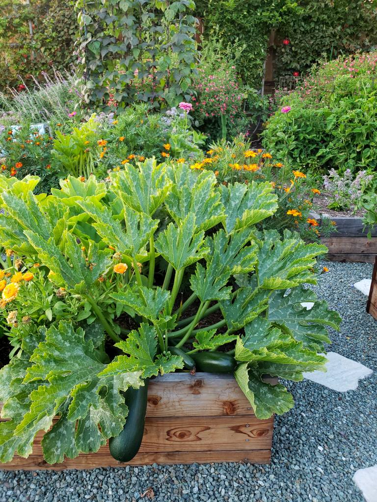 A photo of large zucchini plant in a wood raised bed. There are large zucchini fruit hanging down over the edge of the planter box. In the background are a variety of large plants with flowers, out of focus. The raised bed is surrounded with blue-green gravel and stepping stones.