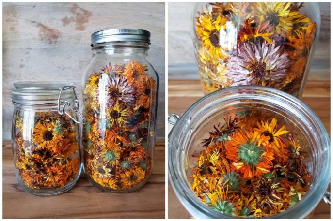 Two large glass jars full of dried wrinkly calendula blooms. Whole heads of dried flowers.