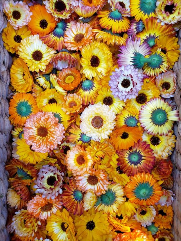 A woven basket full of harvested calendula flower blooms, in every shade of yellow, pink, orange, and red.