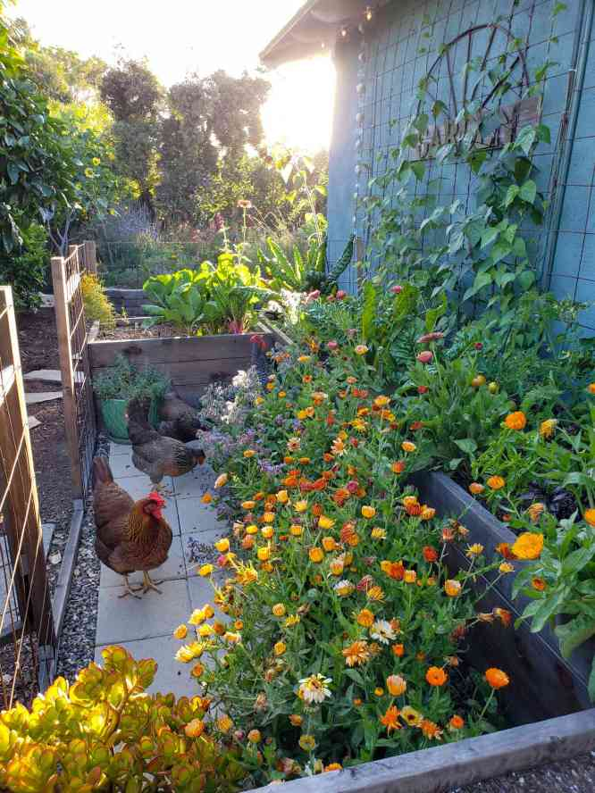 An image of raised garden beds with hundreds of calendula blooms growing in front of them. There are chickens in the garden area, and climbing pole beans going up a trellis along the back of the beds, which abut a blue house. The blooms are orange, red, pink, and yellow. Other leafy greens also grow in the beds. The sun shines in the distance, low on the horizon.