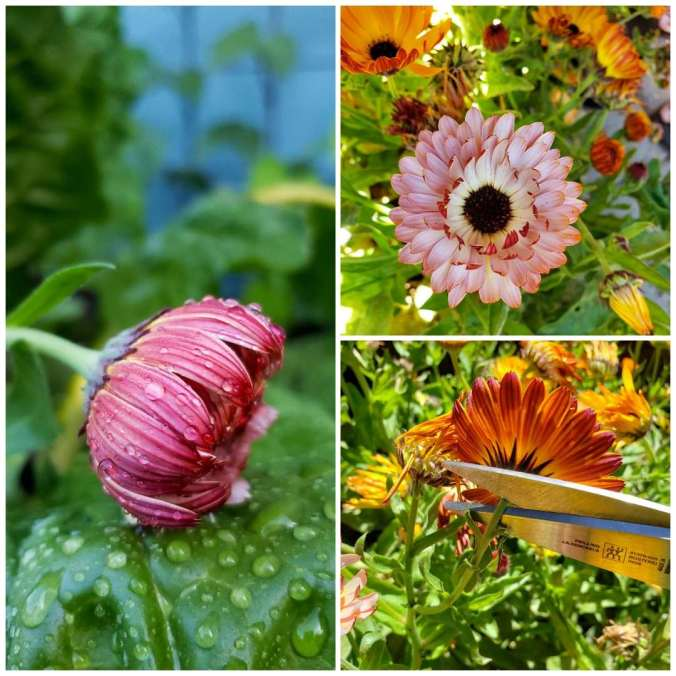 Three images of close up calendula blooms. One is pink one is curled up and closed, with water droplets, too wet to harvest. The others are in sunshine, dry and open. Scissors are shown trimming one bloom at the base of the flower head.