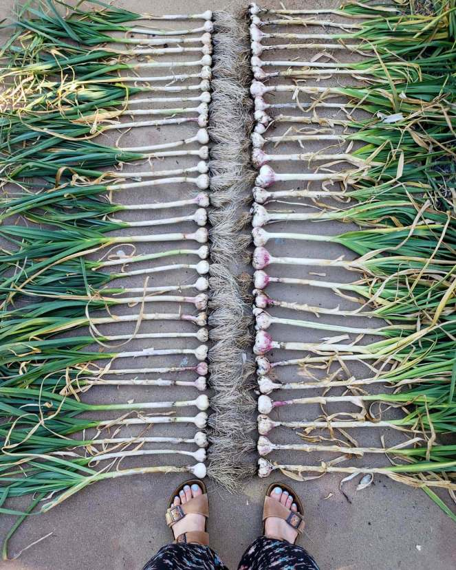 Looking down at freshly harvested garlic lined up on the ground in two rows with their bulbs and roots facing each other. The leaves of the garlic are still fairly green with some brown and yellow mixed in which signifies it was ready to harvest.