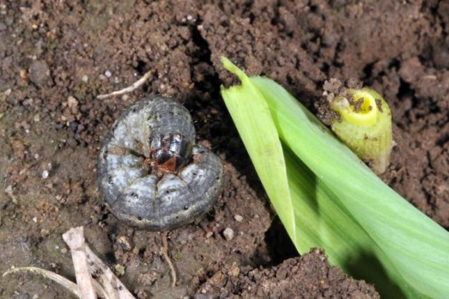Cutworm and a damaged plant. These garden pests are more difficult to identify since they usually hide below soil.