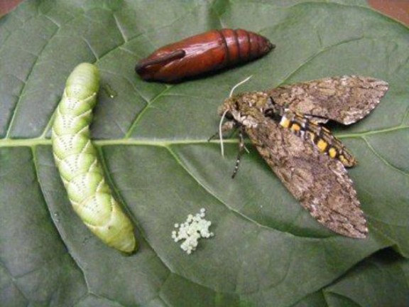 A large brown moth, green tomato hornworm caterpillar, and egg cluster