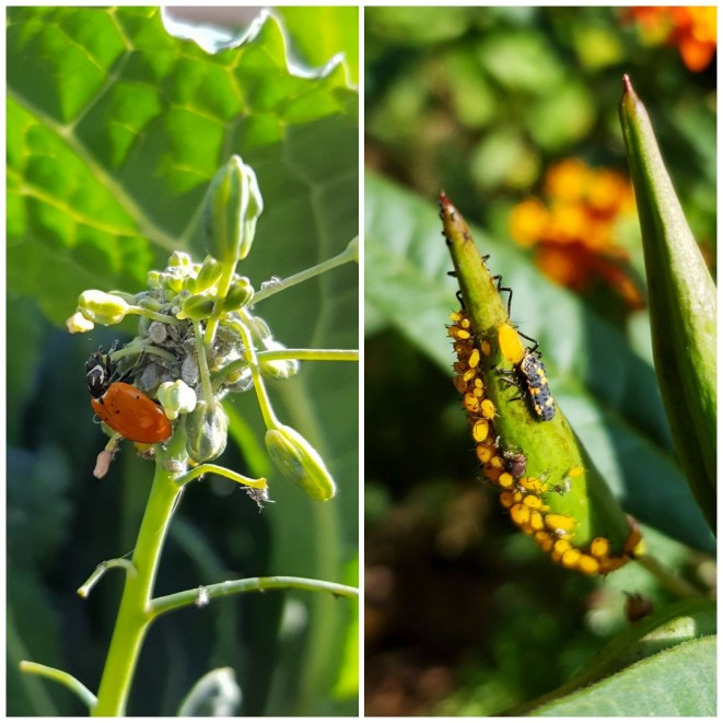 The photo on the right shows a ladybug larvae eating orange aphids (garden pests) on our milkweed, on the left an adult lady bug eating grey aphids on kale.
