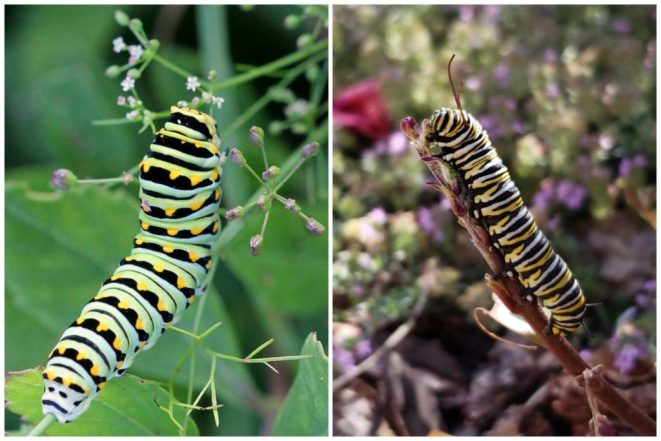 Swallowtail caterpillar (green, black, and yellow spots) on the left, Monarch on the right, yellow black and white stripes.