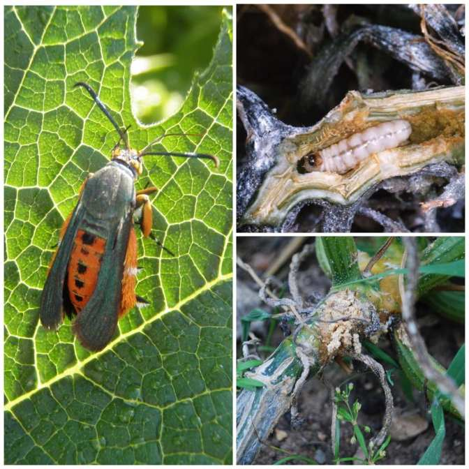 """A thee way image collage of different stages of squash vine borer. The first image shows an adult squash vine borer. It has an orange body with black wings towards its head. It resembles an insect similar to a wasp. The second image shows a vine borer larvae inside a squash stem. Some """"frass"""" or poop is visible on one end. The third image shows a squash vine from the outside with squash vine borer damage. The vine looks like it is rotting, a lot of insect poop is protruding from the inside of the vine. It looks as if it is rotting from the inside out."""