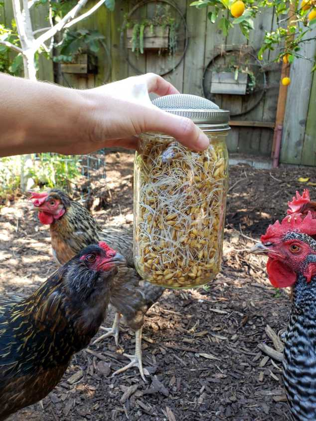 A close up image of the sprouted seeds in the jar being held by and outstretched arm. The chickens are surrounding the jar for inspection, trying to get to the seeds held within. The ground is mulched with bark and there is filtered sunlight in the background casting rays of sun on the ground.