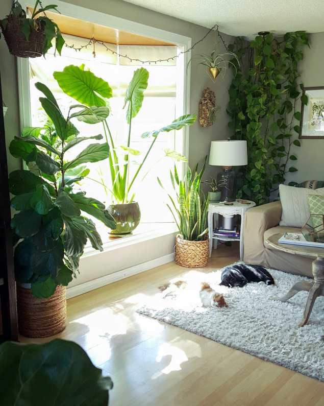 A photo showing a room with a bay window surrounded by houseplants of various types. There are two cats sleeping on a rug directly in front of the window, showing that they don't care about the plants around them.