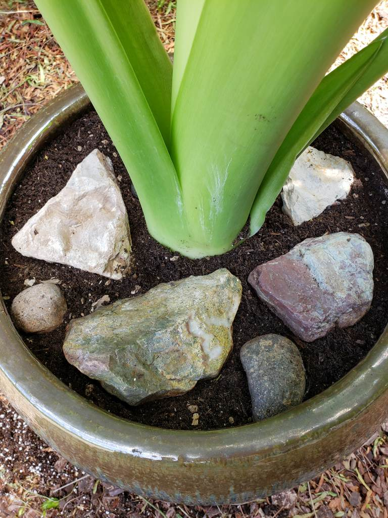 A closeup of  a plant that has just been transplanted into a larger pot. There are rocks placed throughout the inside of the pot on top of the soil surface, this is to help keep cats from scratching and playing in the soil.