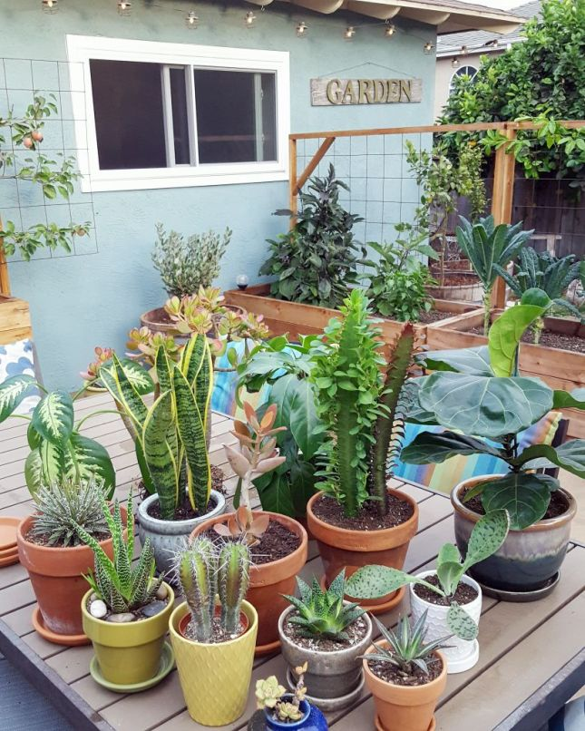 An outdoor patio table that has an assortment of sun loving houseplants such as succulents, cacti, snake plant, fiddle leaf fig, and various others. There are garden beds in the background with vegetables growing in them and a couple wine barrels that have a small fruit tree planted in them.