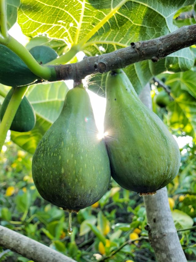 Two ripe green skinned Desert King figs hanging from a branch. One of them is so ripe it is dripping with sugar. The suns rays are filtering in from behind them.