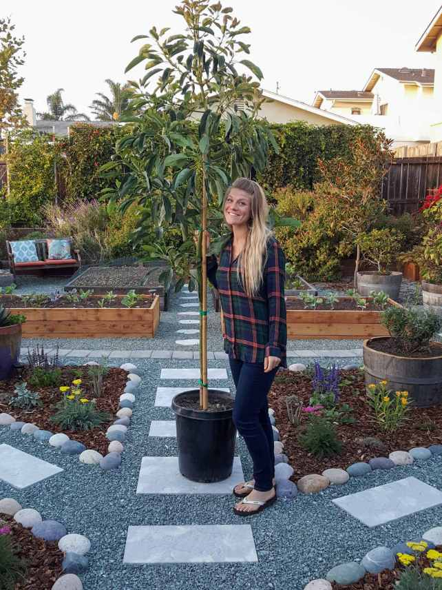 A woman (Deanna, the author of this article) stands with a newly purchased Hass avocado that is in a 15 gallon container. The background shows a yard that contains gravel pathways with stone pavers for steps. There are islands that are lined with river cobble stone that contain perennial plants that are mulched with bark. Further behind that contains raised garden beds for vegetables, perennials of numerous varieties, as well as a wall of passion vines that are alongside the far wooden fence line.