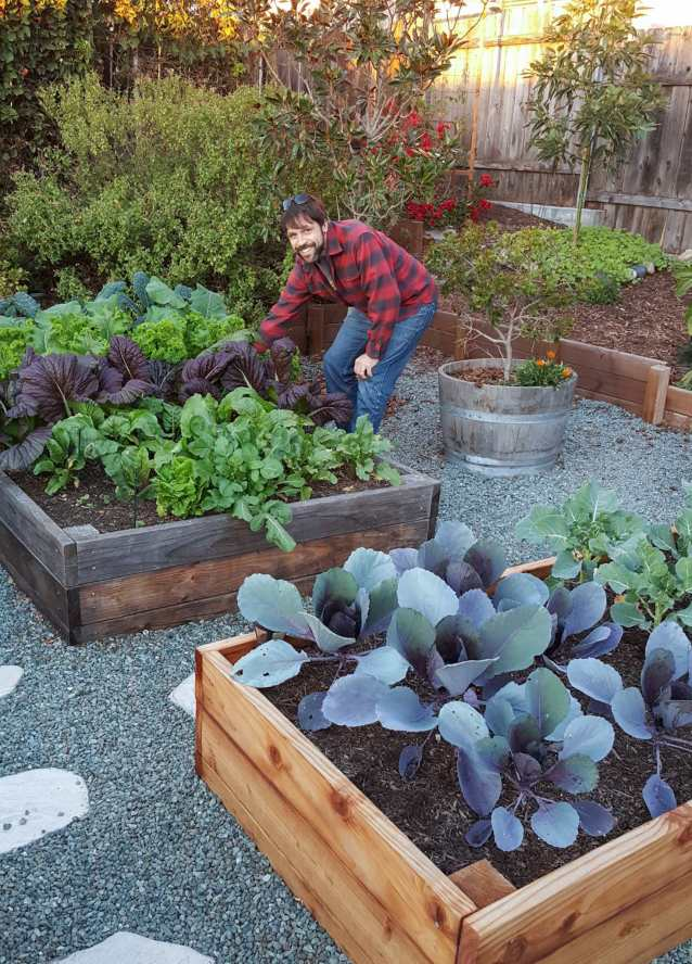 An image of a man reaching into a raised garden bed of greens to harvest on of the leaves. He is wearing denim jeans and a red and black checkered flannel. There is a garden bed in the foreground that has young red cabbage growing, their leaves reaching outwards like solar panels. There is a small shrub growing out of a half wine barrel next to him. There is a Magnolia tree directly behind him and an avocado tree beyond that and to the right of the image. There are various perennials also in the background and the base of the avocado tree has many small green seedlings shooting up around it for a cover crop.
