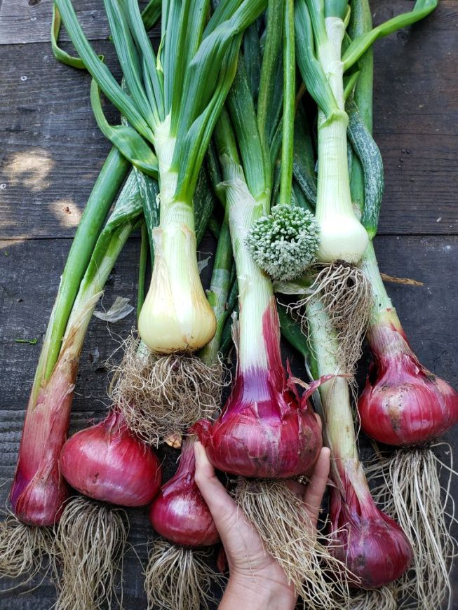 A fresh bunch of harvested red and yellow onions are laying on a wooden table. A hand is reaching up from the bottom/middle of the image and it is holding the biggest middle onion with the palm up, though the hand is mostly covered by the onions roots which are still attached to all the onions. They are staggered in two mishap rows showing their burgundy blush and the top half of the image contains the onion greens which are still attached as well. One of the onions has already bloomed and the flower ball is displayed amongst them all near the middle of the image.