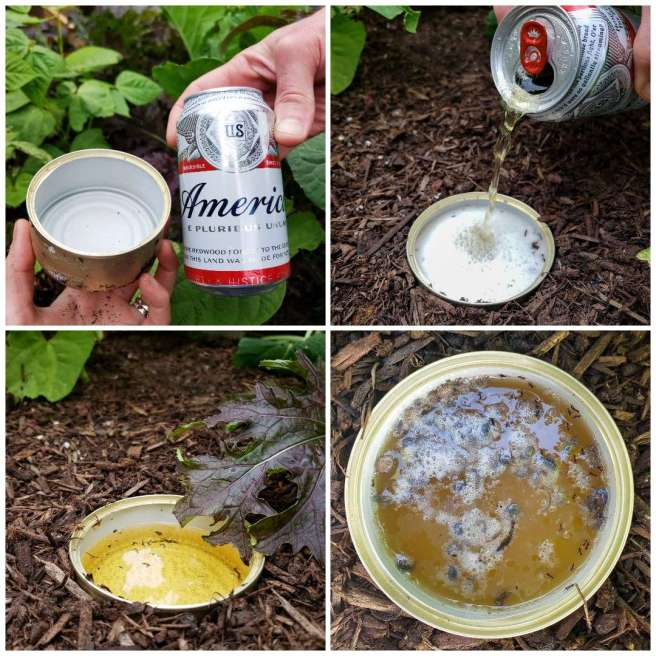 A four way image collage, the first image shows an empty cat food can being held next to a can of Budweiser. There are green beans and collard greens in the background. The second image shows the can buried in the soil of a garden bed and the beer is being poured into the can. The third image shows the can halfway full of beer, there is a reddish green leafy green hanging nearby. The final image shows the can which is now filled with bugs of various types. They are fairly indiscernible to the viewer.