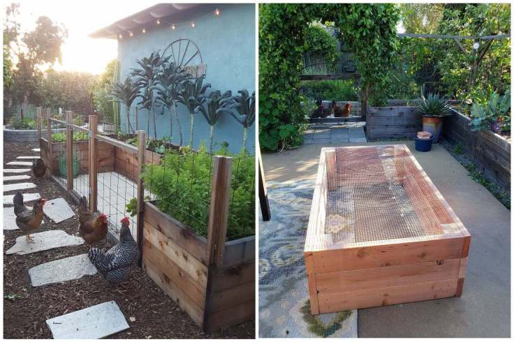 A two way image collage, the first photo shows raised garden beds built into the shape of a U butted up agains the side of a house. The u shaped garden bed is enclosed with wire fencing that has been connected to the garden beds and meets in the middle of the u with 2x4 wood pieces for the gate. The garden beds are full of kale that have grown to halfway the height of the house, carrots are also growing in the nearest garden bed. Chickens are outside of the fencing looking inward towards the beds, at the food that they are unable to reach. The second image shows a wood garden bed after it was first constructed. It is upside down on a patio displaying the hardware cloth that was attached to the bottom of the bed. The patio is lined with raised beds full of plants, there is an agave in a ceramic pot in the corner and the middle and top left corner show a vine the is covering an arch with a gate and walkway below it. Chickens are standing outside of the gate looking in.