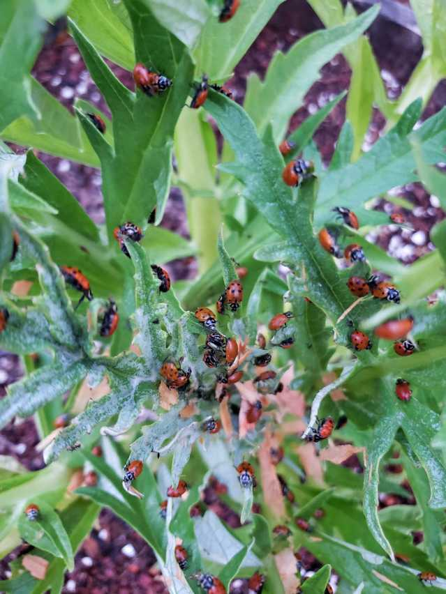 A close up image of the middle of an artichoke plant that is covered in hundreds of spotted lady bugs - beneficial insects used in organic pest control.