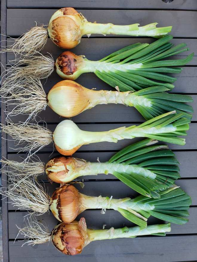 Seven large Walla Walla sweet onions are laid out on table in a single file line from top to bottom. They still have their roots attached and about a foot of their greens are still attached as well. All the onion bulbs are pointing to the left. The onions bulbs range in size from very large to medium