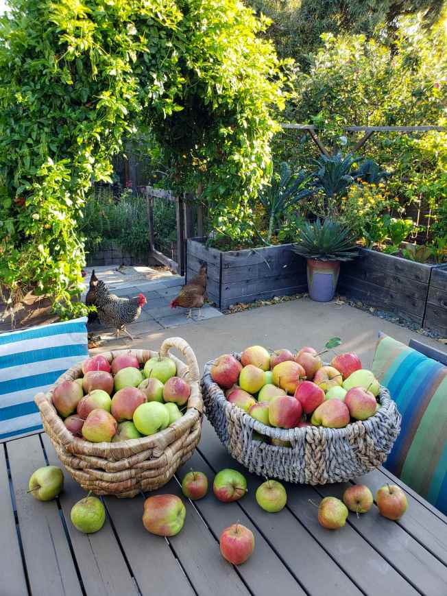 Two large wicker baskets are sitting on a back patio table. They are overflowing with apples that range in color from dark and bright red to green. The patio is enclosed by raised wooden garden beds, the gate underneath an arch was left open and there are three chickens of various colors sneaking onto the patio.