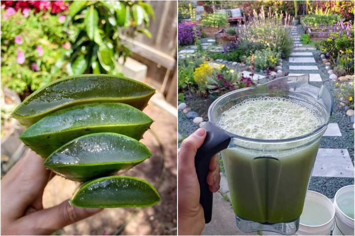 A two way image collage, the first shows a hand holding four freshly cut aloe leaves stacked on top of each other. The cut end is displayed showing the inside gel of the leaves. The second image shows a blender filled with green frothy aloe vera  after it has been blended with water. This will then get poured into 5 gallon buckets of water creating an aloe vera soil drench for the newly planted tree.