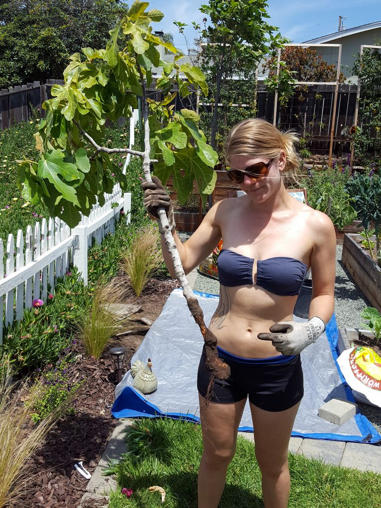 DeannaCat, clad in a bikini top with short workout type shorts and brown sunglasses is holding a fig tree that has had all but a few roots chewed off as well as a good portion of the trunk chewed down. The bottom of the tree resembles a field hockey stick although all of its leaves still remain intact. A homemade gopher basket would have helped this tree thrive instead of forcing it to be moved. The background contains portions of a couple garden beds with tomatoes and kale growing amongst them. There are various other green plants amongst the image with large trellises along the back fence line that are  naked aside from a small vine centered in the middle of each. If you grow fig trees, use a gopher cage if they are present in your area.