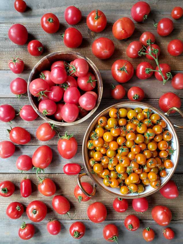 A wood bowl and white ceramic bowl with copper lined rim are sitting atop a wooden backdrop. The wood bowl is full of round and oblong tomatoes of various shades or red to pink, the white ceramic bowl is full of orange Sun-gold tomatoes. Many tomatoes are scattered throughout the area surrounding the bowls, they are different shades of red. These are the main ingredient for roasted tomato sauce.