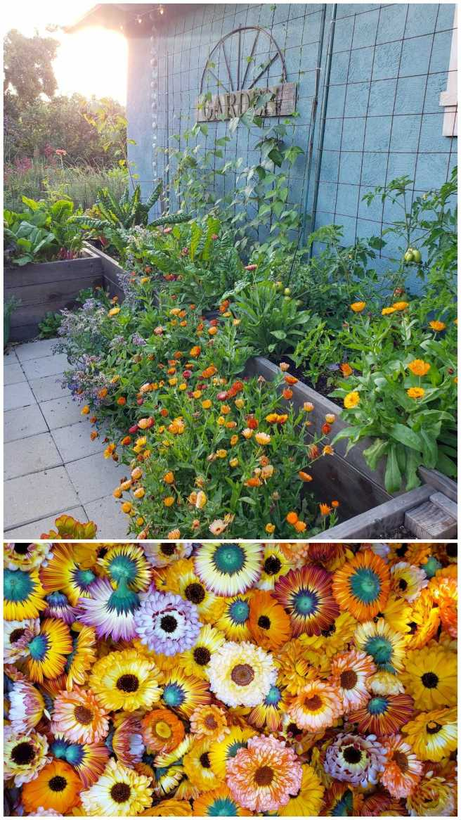 Two images. The bottom shows various colors of yellow, orange, pink, and red calendula blooms in a basket. The top image shows planting calendula in and around raised beds as a companion flower, shown with kale, tomatoes, swiss chard.