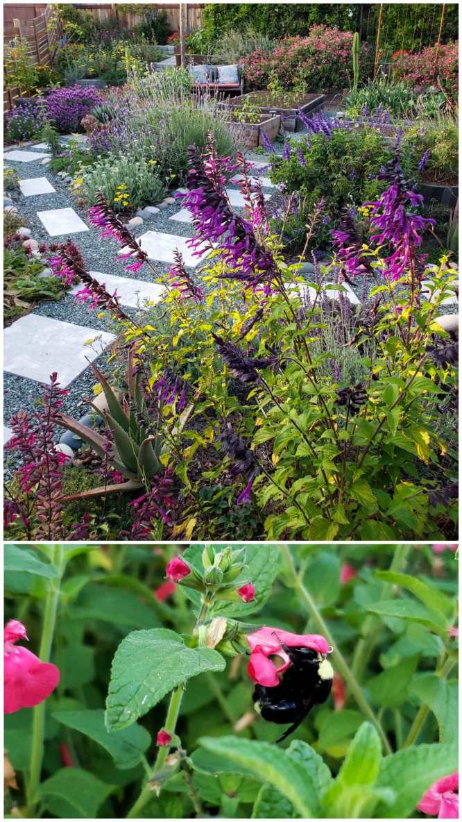 In the top image, a garden is full of purple, pink and yellow flowers of all shapes and sizes, lined by stone pathways. The bottom image shows a  close up of a fat black and yellow bumble bee enjoying a pink Watermelon Salvia bloom, with his face stuffed inside.