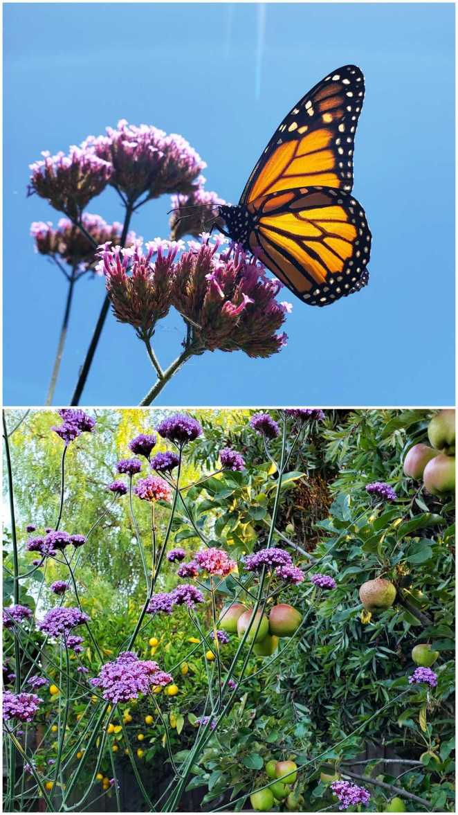 A monarch rests on a purple verbena plant, which has clusters of tiny flowers in balls at the end of otherwise bare stems. The blue sky and sun is in the background, illuminating the monarchs orange wings with black borders and white dots